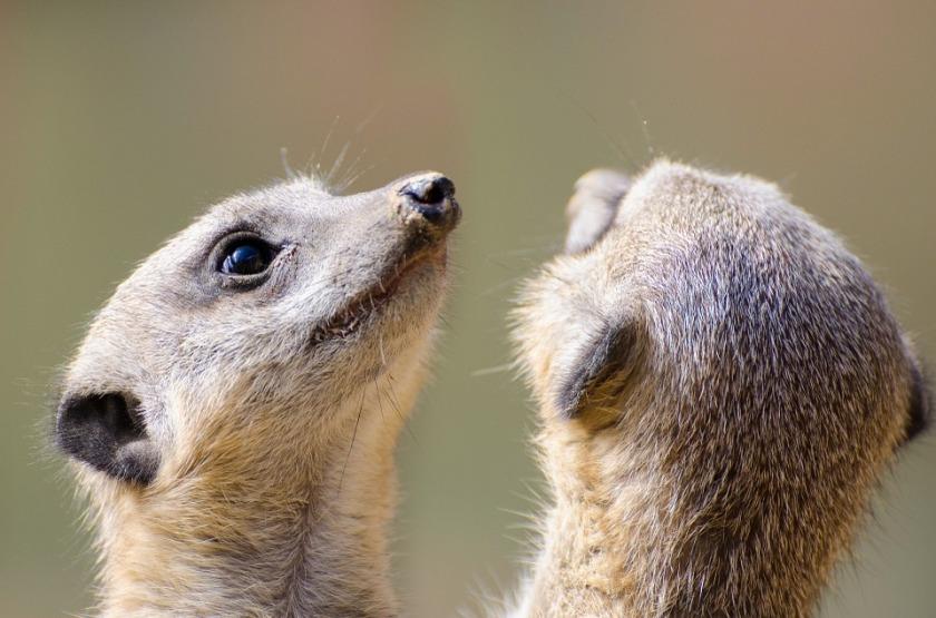 meerkat-316736_960_720