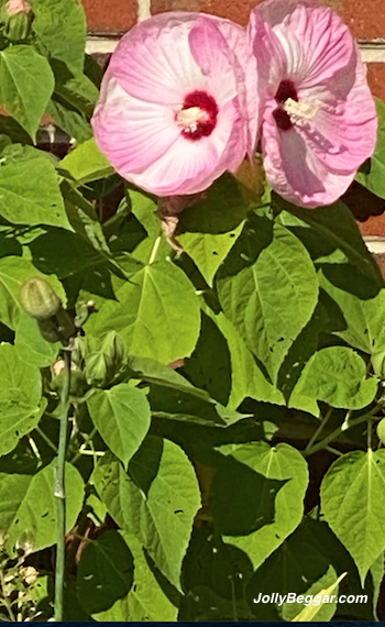 Hibiscus moscheutos 'Disco Bell Pink'
