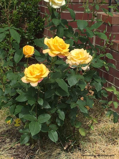 saturday-roses-1-1