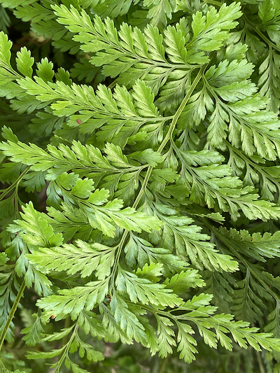 Rabbit Foot Fern Leaves