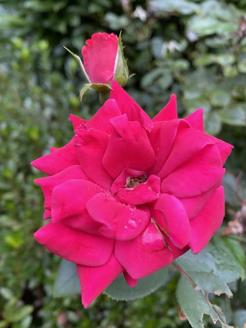 Rose & Rosebud